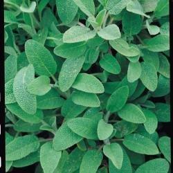 Suffolk herbes g?n?rations Lot???Sage???Salvia officinalis