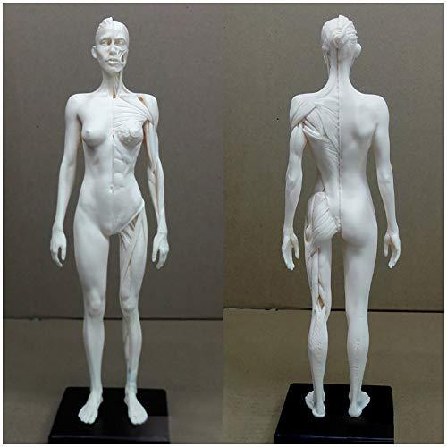 11inch weiblich & männlich Anatomie Figur - PU-Material menschliche anatomische Muskel-Knochen-Modell - Human Muskel-Skelett-Anatomie-Modell - für Medical Artisten Drawing Study,Female