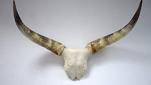 bokke Longhorn Cornes de Front Plaque Naturel Corne Naturelle, Largeur 90–120cm, Hauteur 70–90cm, 55x 45cm