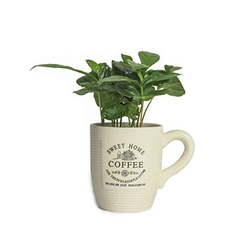 Echte Kaffeepflanze coffea arabica ca. 30cm mit Übertopf- pflegeleichter Kaffeestrauch zum selber wachsen lassen, immergrüne Zimmerpflanze, Kaffee für Liebhaber (1, Kaffeepflanze mit Tasse)
