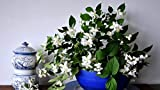 Kpoiuy Paquete De Pintura por NúMero En Lienzo Pintura Al óLeo JazmíN Flor Primavera Cuenco China Cuadros Pintados A Mano del Arte del Colorante De AcríLico para La Sala De Estar