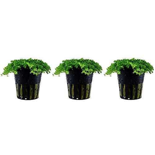Aquarium Pflanze 3 Stück Hemianthus callitrichoides Wasserpflanze Nr.048B Aquariumpflanzen Set