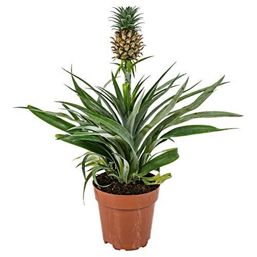 Ananaspflanze 'Bromelia' pro Stück | Zimmerpflanze im Aufzuchttopf cm12 cm - ↕40 cm