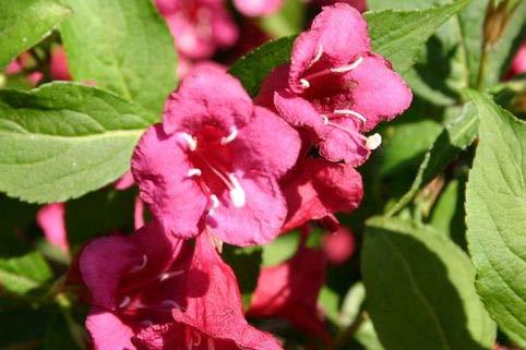Keland Garten - Rarität Weigelie 'Bristol Ruby' Rubine leuchtend, Baumsamen Blumensamen mehrjährig winterhart bis zu -25 °C für Garten/Balkon