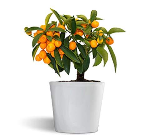 Fortunella hindsii - kumquat naranjo enano - cítrico de interior - maceta cerámica de 12cm
