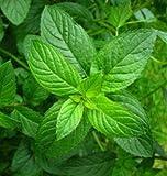 Menta piperita 30 semi di ortaggi minimo giardino pianta facile da coltivare D036