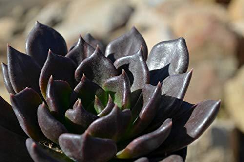 PLAT FIRM Germination Les graines: RARE !! SUCCULENT Echeveria affinis SEEDS Black Knight - 10pcs / pack
