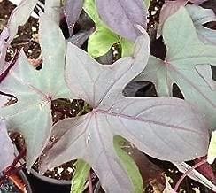 Ornamental Sweet Potato, Blackie - 12oz Pot - Live Plant +!