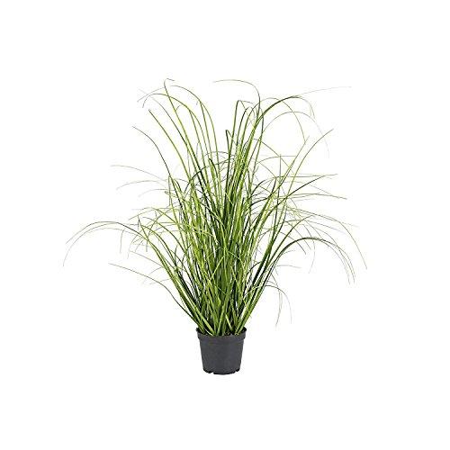Grasbusch im Topf 50cm