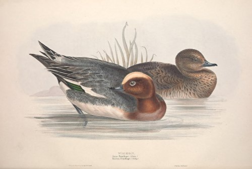 Posterazzi Birds of Europe 1837 Widgeon Poster Print by J & E Gould, (18 x 24)