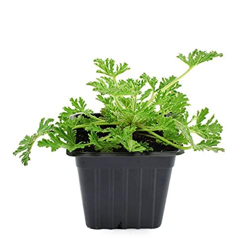 Live Citronella Mosquito Plants, 4 Pack of Live Living Mosquito Plants, Citronella Plants Citrosa...