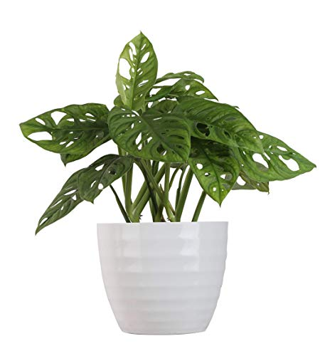Costa Farms Live Indoor Trending Tropicals Little Swiss Monstera Plant, 12-Inch Tall, White Décor Pot