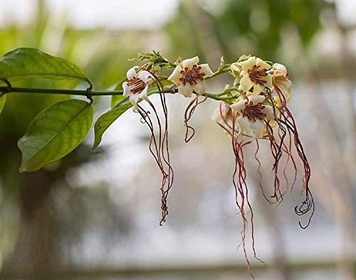VISA STORE Selten 3 Samen von Strophanthus Petersianus Fragrant Pfeil G965 e Seeds