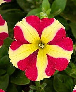 70 Pcsbeautiful Petunia Flower Seeds Of Petunia Flower Can Chooseas For Garden Decoration : Burgundy