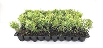 Sea Green Juniper - 30 Live Plants - Juniperus Chinensis - Hardy Evergreen Privacy Screen