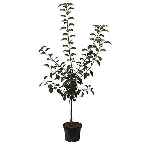Müllers Grüner Garten Shop Apfelbaum Golden Delicious süßer Winterapfel Buschbaum 120-150 cm im 7,5 Liter Topf Unterlage M9
