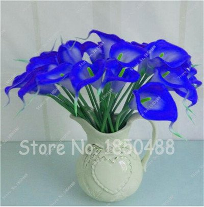 Multi-couleur Calla Fleur vrai Calla Lily Graines d'amour élégant Noble Symbolise Graines de fleurs de plantes d'intérieur Bonsai Balcon Fleur-50 4