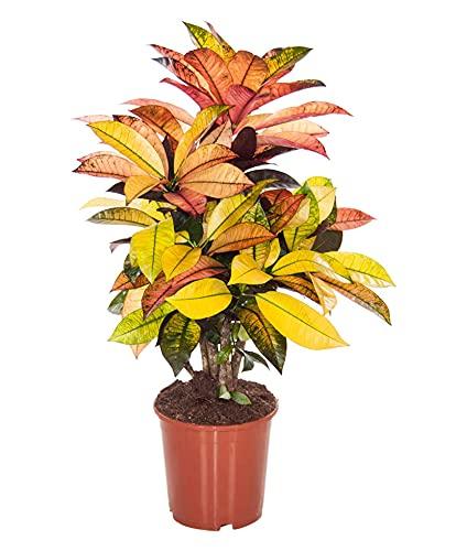 Codiaeum variegatum MRS ICETON | Croton | Bonte Zimmerpflanze | Höhe 35-45 cm | Topf- Ø 12 cm