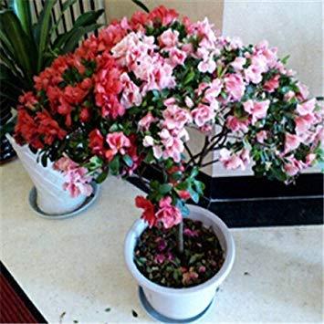 GEOPONICS Bonsai Azalee Samen 200pcs 10kinds mischen Blumensamen Novel Samen für Garten
