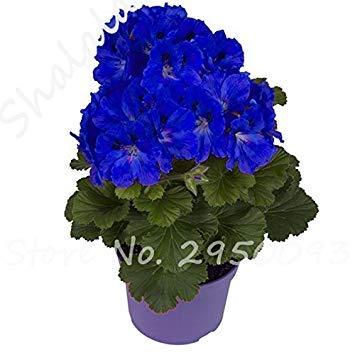 Vista 20 Stücke Marineblau Pelargonie Samen Thailand Mehrjährige Pelargonie Samen Helle Bonsai Blumensamen Hausgarten Gewächshaus Pflanzen