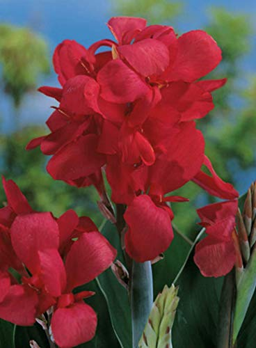 Canna Crimson Beauty Blumenrohr Rhizom Blumenzwiebeln (3 Canna (Rhizome))