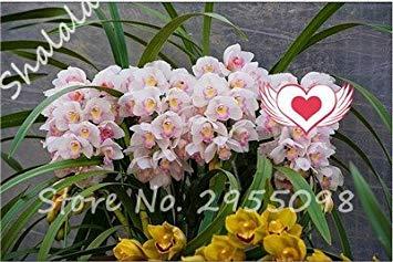 Vistaric A bag = 200pcs Cymbidium Orchid, Multi Color Cymbidium Orchid Plant, Semillas de flores Bonsai, Crecimiento natural, Plantas para el huerto doméstico 11