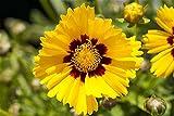 Großblumiges Garten-Mädchenauge Coreopsis grandiflora 'Sonnenkind' Staude im Topf gewachsen