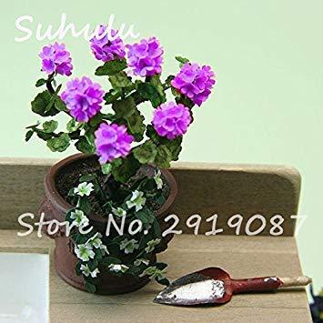 Vistaric 100pcs Rare Mini Geranium Graines Vivaces Belles Fleurs Graines Pelargonium Peltatum Graines disponibles bonsaï en pot mélange couleurs 14