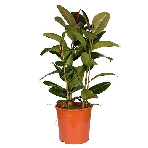Pflanzen Kölle Gummibaum, Ficus elastica 'Abidjan', Topf 27 cm, Höhe ca. 90 cm