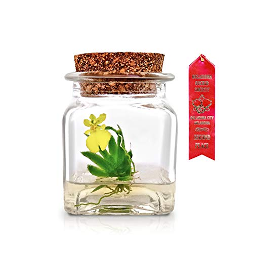 Bloomify Award Winning, Maintenance Free Orchid Terrarium - Psygmorchis Pusilla - Miniature, No Green Thumb Necessary, Great for Work, Home, Unique Gift.