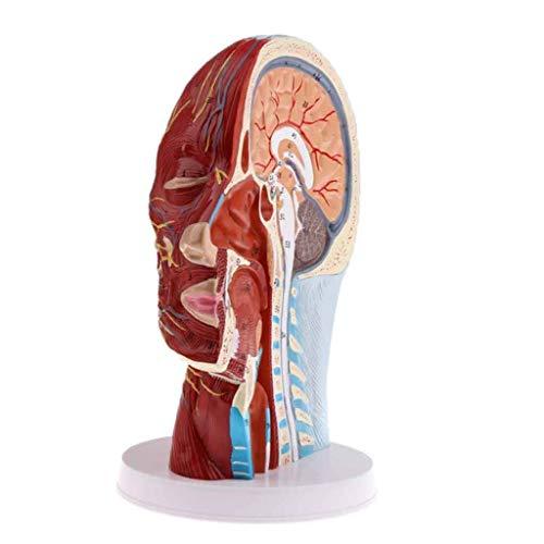 Momomomo Lernwerkzeug-Anatomie Kopf Modell Harz Menschlicher Schädel-Kopf-Modell Knochen-Muskel-Anatomie-Modelle für Schule Medizinische