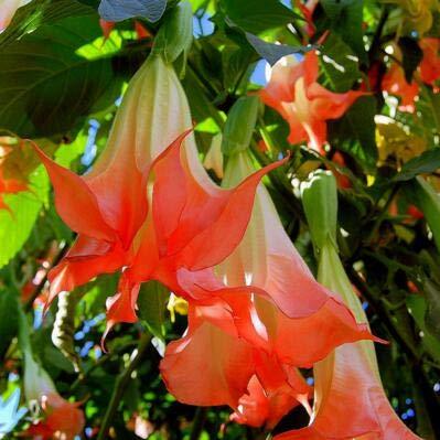 10 Arten von Datura Samen, 50pcs / Bag Datura Blumensamen schöne Blume Bonsai Pflanze DIY Hausgarten geben Verschiffen frei: 4