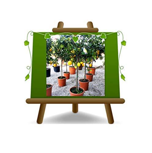 Citrus Citron - Citrus Limon - Sapling - Fruitier sur un pot de 28 - arbre max 130 cm