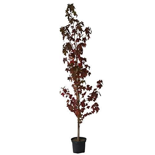 Müllers Grüner Garten Shop Amerkianischer Amberbaum Liquidambar styraciflua sehr schöne Herbstfärbung Heister 80-100 cm im 5 Liter Topf