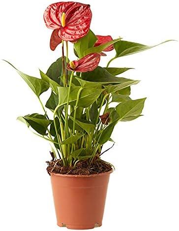 planta roja anthurium en maceta