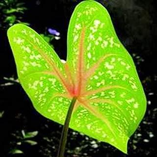 100 pcs Fancy-leaved Caladium Seeds Lots of Kinds Beautiful Seeds