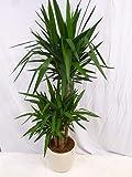 Zimmerpflanze - Yucca Palme, 180cm