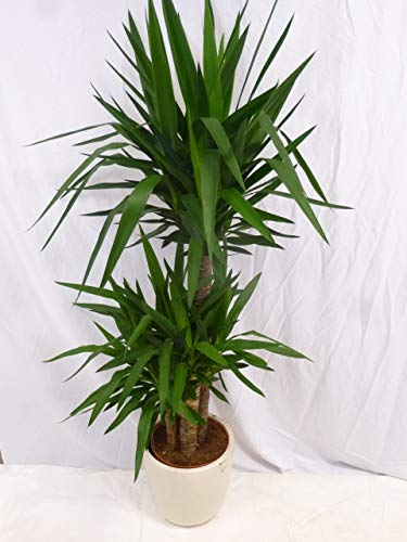 [Palmenlager] - Yucca elephantipes 160/180 cm - 3er Tuff // Zimmerpflanze - Yucca Palme