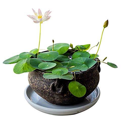 Pflanzentöpfe Bonsai Lotus Samen Seerose Pflanzen für Teiche Kleine gemischte bunte Wasserspiele Samen Qquatic Pflanzen Kit Home Garden Yard Decor Purify