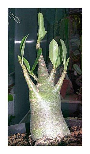 SANHOC Samen-Paket: Adenium multiflorum - Impala Lily - 2 SeedsSEED