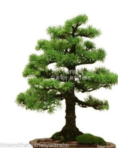 Toyensnow - Larix kaempferi Japanese Larch - Bonsai Weathered Look Conifer Furrowed Bark (10 Seeds)