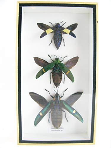 asiahouse24 3X Jewel Beetle (Buprestidae Sp.) - echtes riesiges und exotisches Insekt im 3D Schaukasten, Bilderrahmen aus Holz - gerahmt - Taxidermy Nr 1