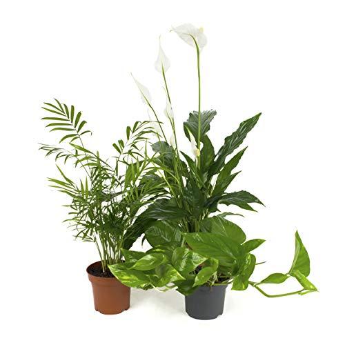Frischluft-Pflanzen Mix - 3 Zimmerpflanzen - 1x 50cm Bergpalme / 1x 50cm Spathiphyllum / 1x Scindapsus Epipremnum - immergrün und pflegeleicht