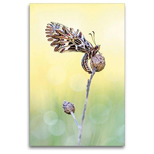 Premium Textil-Leinwand 80 x 120 cm Hoch-Format Osterluzeifalter - Zerynthia polyxena   Wandbild, HD-Bild auf Keilrahmen, Fertigbild auf hochwertigem Vlies, Leinwanddruck von Anton Simon