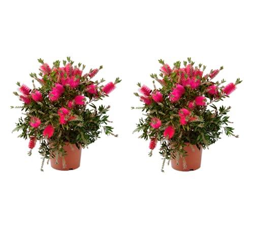 Blumen von Botanicly – 2 × Zylinderputzer – Höhe: 40 cm – Callistemon Laevis