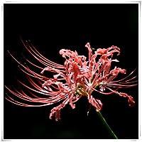 リコリス の 球根,ラジアータ球根,園芸価値が高い,鉢植え,黄色と赤、彼岸の花の球根、販売中、カラフル,装飾,美しい花-6 球根,赤.