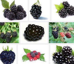 Promotion Big promotion 100 Seeds Thornless Blackberry, délicieux, nutritif, doux, encas naturel, jardin vivace ou pot fru