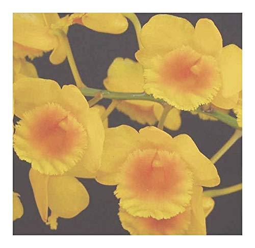 Dendrobium chrysotoxum - orchidées - 100 graines