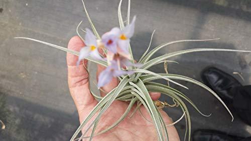 GETSO Bromelie Tillandsia ixioides x bergeri in Spike exotischen tropischen Luft-Pflanze
