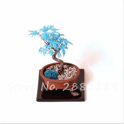 Rare bleu japonais samares 30 Pcs Bonsaï Plantes de costume Pot pour plantes Jardin Bricolage & Balcon Absorber Formaldéhyde 9